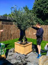 tuinmeubilair: olijfboom in houten pot