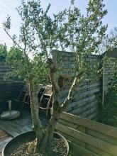 Prachtige olijfbomen geven een zuiders tintje