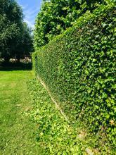 scheren van klimophagen en onderhoud van uw tuin